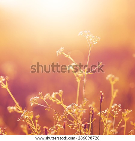 white wild flowers on sunny field background - stock photo