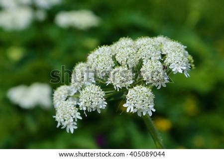white wildflower Glacier National Park Montana - stock photo
