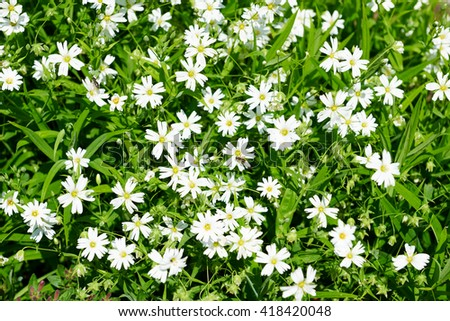 white wildflowers close view, bright green meadow, beautiful spring landscape - stock photo