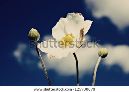 white windflower or wood anemone (Japanese Anemone) - stock photo