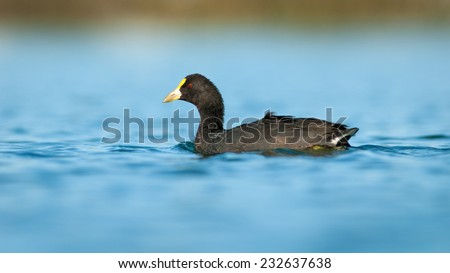 White-winged Coot (Fulica leucoptera) swimming. Patagonia, Argentina, South America. - stock photo