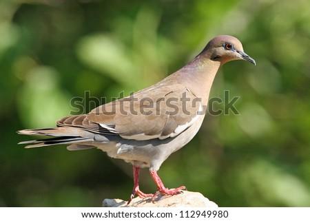 white-winged dove - stock photo