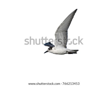 White-winged Tern in flight on White Background, Isolated