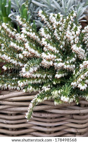 White winter heath flowers in a basket vertical - stock photo