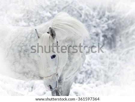 white winter horse portrait - stock photo