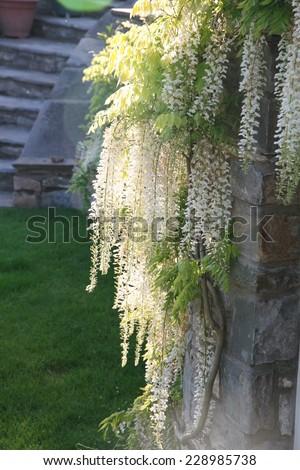 white wisteria in garden - stock photo
