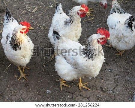 White with black chicken in the courtyard of farm - stock photo
