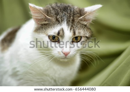 White with brown European shorthair cat on a green background