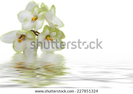 White with green border flowers violets on a white background reflected in water