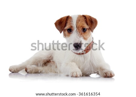 White with red a small doggie of breed a Jack Russell Terrier on a white background
