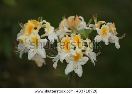White with yellow blossom rhododendron - stock photo