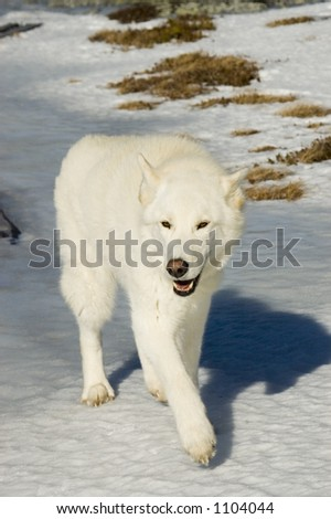White wolf dog walking in the snow