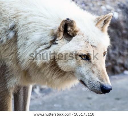 White wolf portrait - stock photo