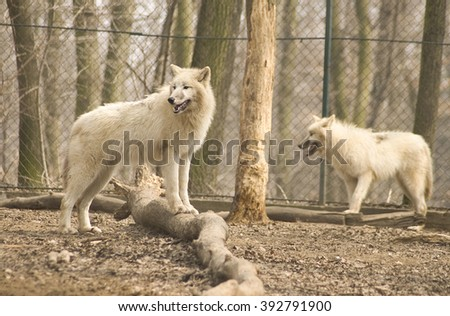 White wolves in the zoo
