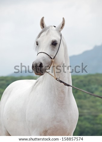 white wondeful arabian stallion at mountain background - stock photo