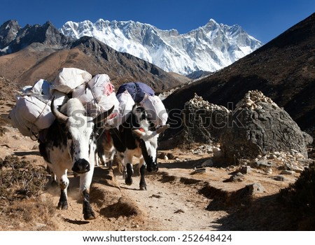 White Yak - bos grunniens or bos mutus - on the way to Everest base camp and mount Lhotse - Nepal  - stock photo