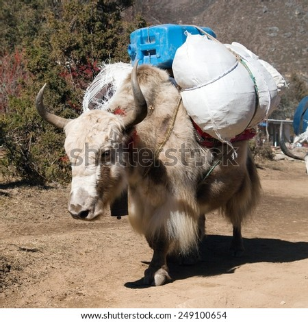 White Yak - bos grunniens or bos mutus - on the way to Everest base camp and mount Pumo ri - Nepal  - stock photo