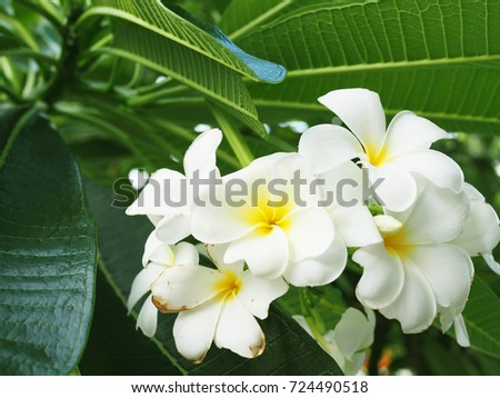 White yellow blooming and starting withering Plumeria bunch bouquet with dark green big leaf tree bush background, close up shot