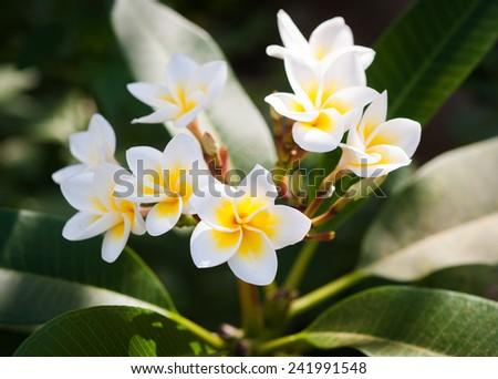 White-Yellow Leelawadee  - stock photo