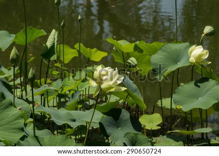 White / yellow lotus floats on top of a koi pond in Southern California - stock photo