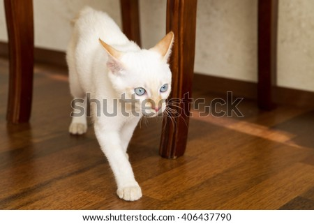White young cat crawling under the chair - stock photo