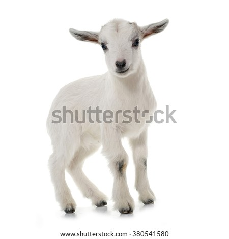white young goat in front of white background - stock photo