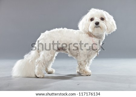 White young maltese dog with pink necklace. Studio shot. Grey background. - stock photo