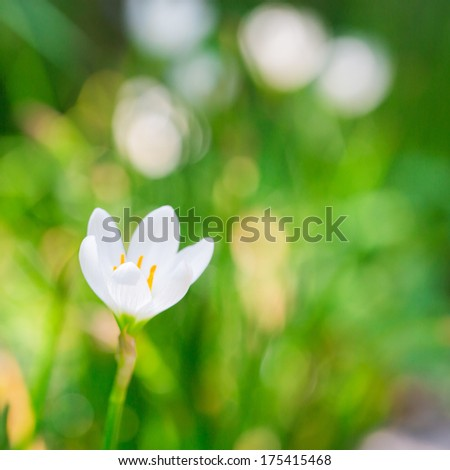 White Zephyr Lily, Rain Lily White or Zephyranthes Candida - stock photo