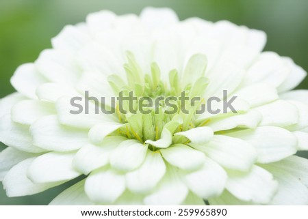White Zinnia flower - stock photo
