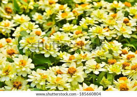white Zinnia flowers with shallow focus - stock photo