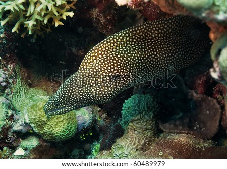 whitemouth Moray Eel, great barrier reef, australia