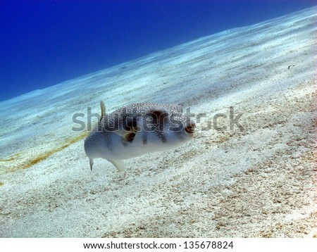 Whitespotted puffer (Arothron hispidus) swimming close to the sandy bottom in shallow drop off. Red Sea, Egypt - stock photo