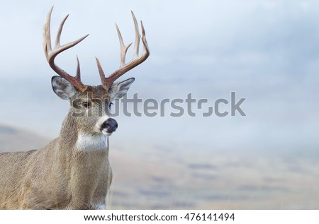 Whitetail Buck Deer close up portrait of large trophy class stag during hunting season