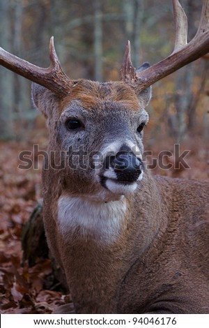 Whitetail Buck Deer Extreme Close-up - stock photo