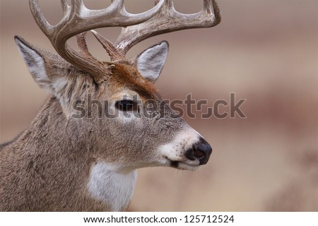 Whitetail Buck Deer highly detailed extreme close up portrait trophy white-tailed deer hunting in the midwestern United States - stock photo