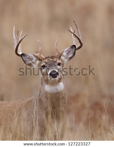 Whitetail Buck Deer in CRP land, Conservation Reserve Program, deer hunting season in the midwest, portrait