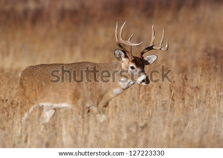 Whitetail Buck Deer in CRP land, Conservation Reserve Program, deer hunting season in the midwest - stock photo