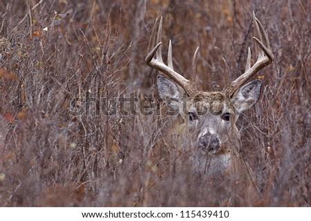 Whitetail Buck Deer in heavy brush, Adirondack Mountains, New York deer hunting season - stock photo