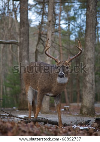 Whitetail Buck Deer in mixed coniferous / deciduous forest, Great Smoky Mountains National Park, Tennessee / North Carolina;  white tail / white-tailed / white-tail / white tailed / whitetailed - stock photo