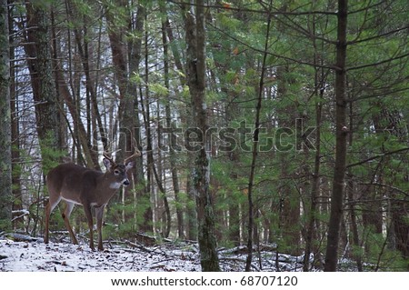 Whitetail Buck Deer in mixed pine / hardwood forest habitat; , Great Smoky Mountains National Park, Tennessee / North Carolina.  white tail / white-tailed / white-tail / white tailed / whitetailed - stock photo