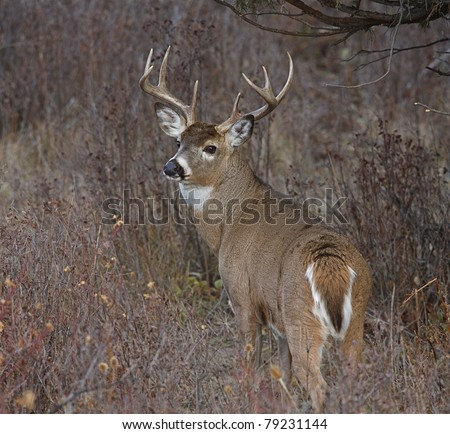 Whitetail Buck Deer in natural habitat, head turned over back looking at camera