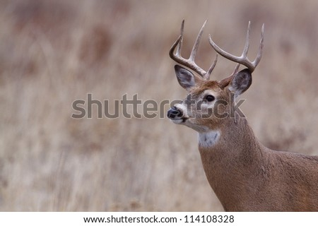 Whitetail Buck Deer; midwest / midwestern White tail deer hunting; white-tail / white tailed / white-tailed / whitetailed - stock photo