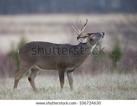 Whitetail Buck Deer performing lip curl, Great Smoky Mountains National Park - stock photo