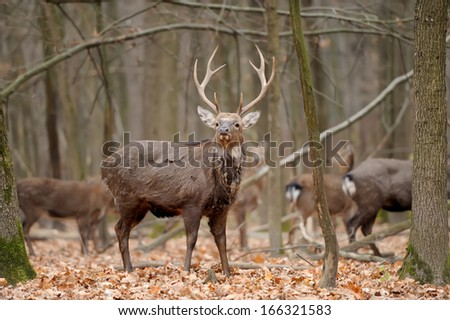 Whitetail Buck Deer Stag in forest