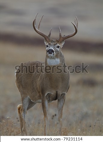 Whitetail Buck Deer with large antlers and rut-swollen neck