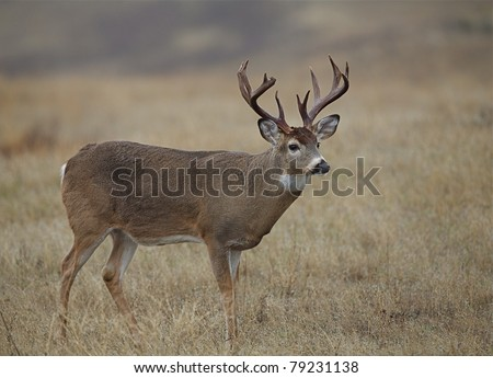 Whitetail Buck Deer with trophy nontypical antlers in prairie grassland habitat - stock photo