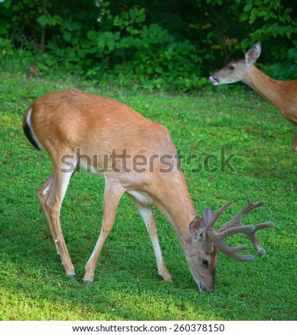 Whitetail buck in velvet eating with a doe licking its lips behind - stock photo