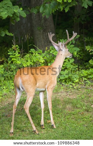 Whitetail buck looking the other way into a dark forest - stock photo