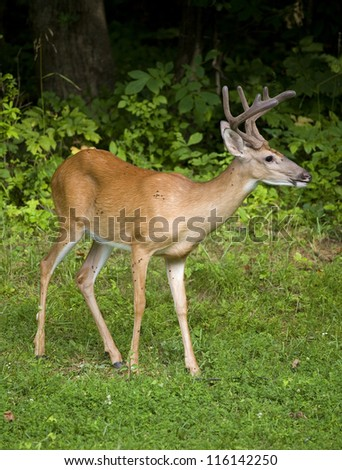 Whitetail buck near a dark forest with eight point antlers in velvet - stock photo