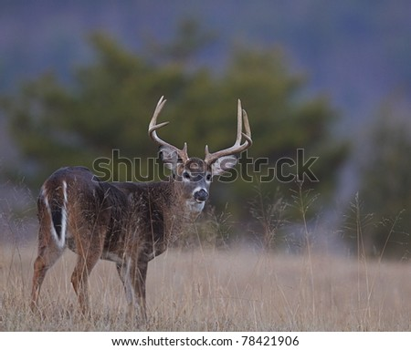 Whitetail Buck standing in tall grass, Cades Cove, Tennessee - stock photo